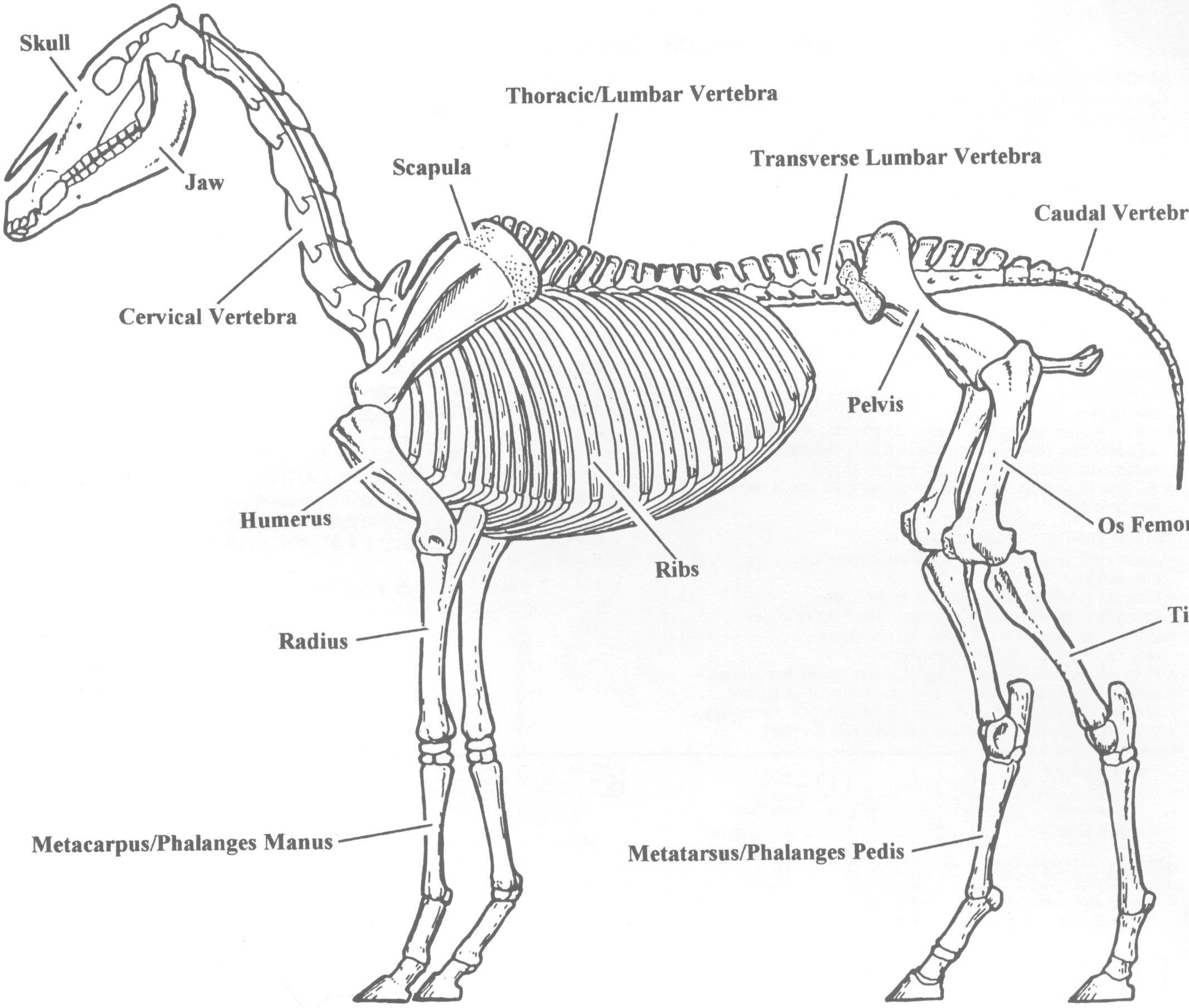 Horse Bone Structure Diagram Coloring - Search For Wiring Diagrams •